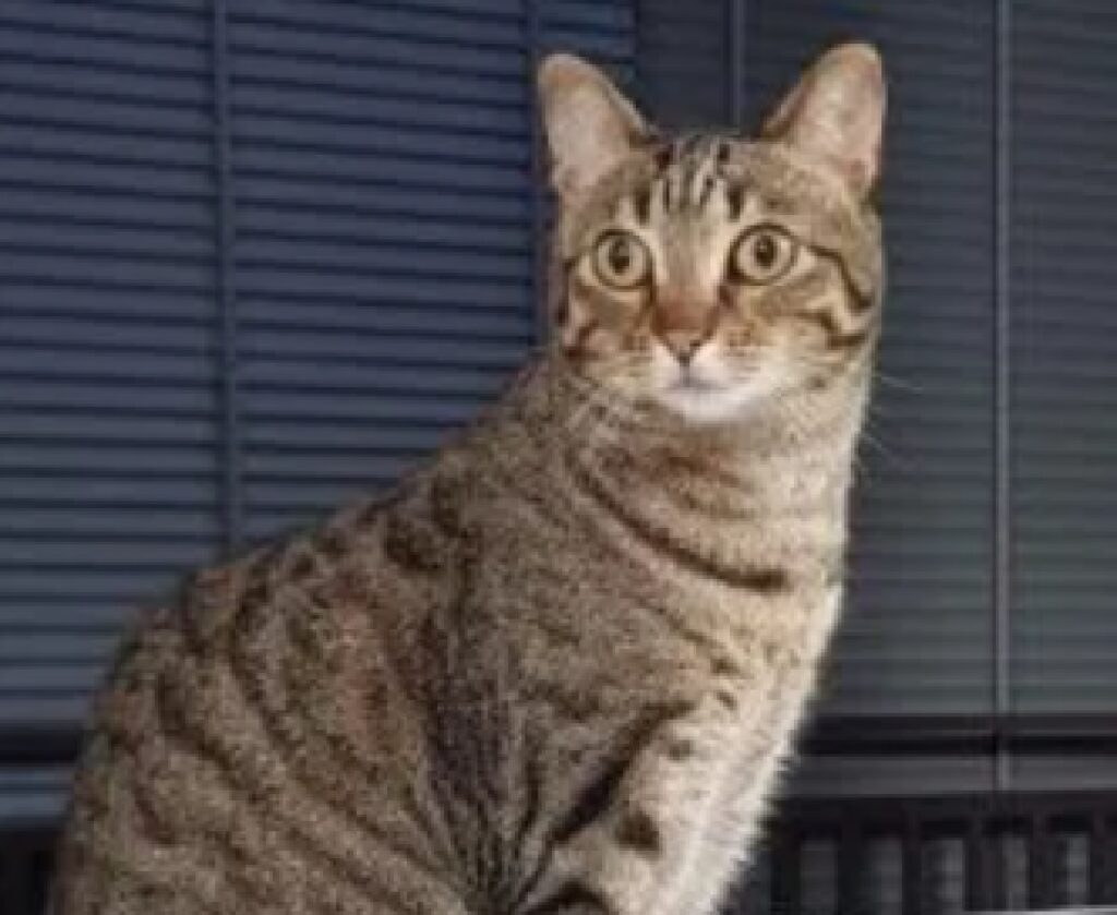 gatto soriano grigio striato