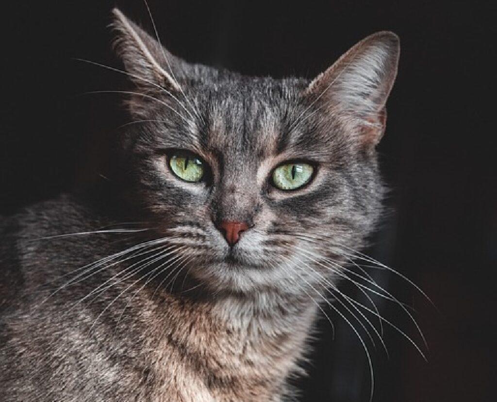 gatto occhi verdi sfondo nero