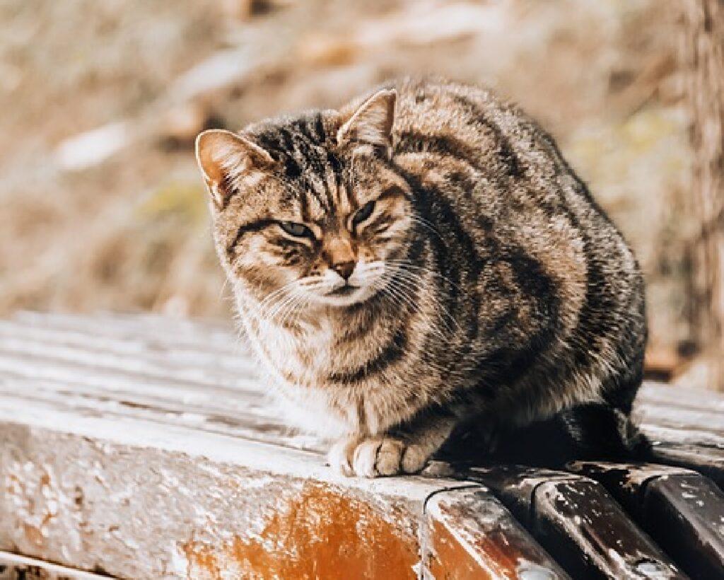 gatto soriano su asse legno