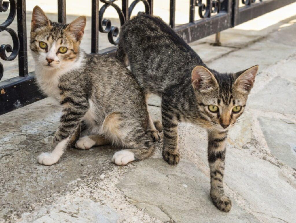 gatti fissano con occhi telecamera