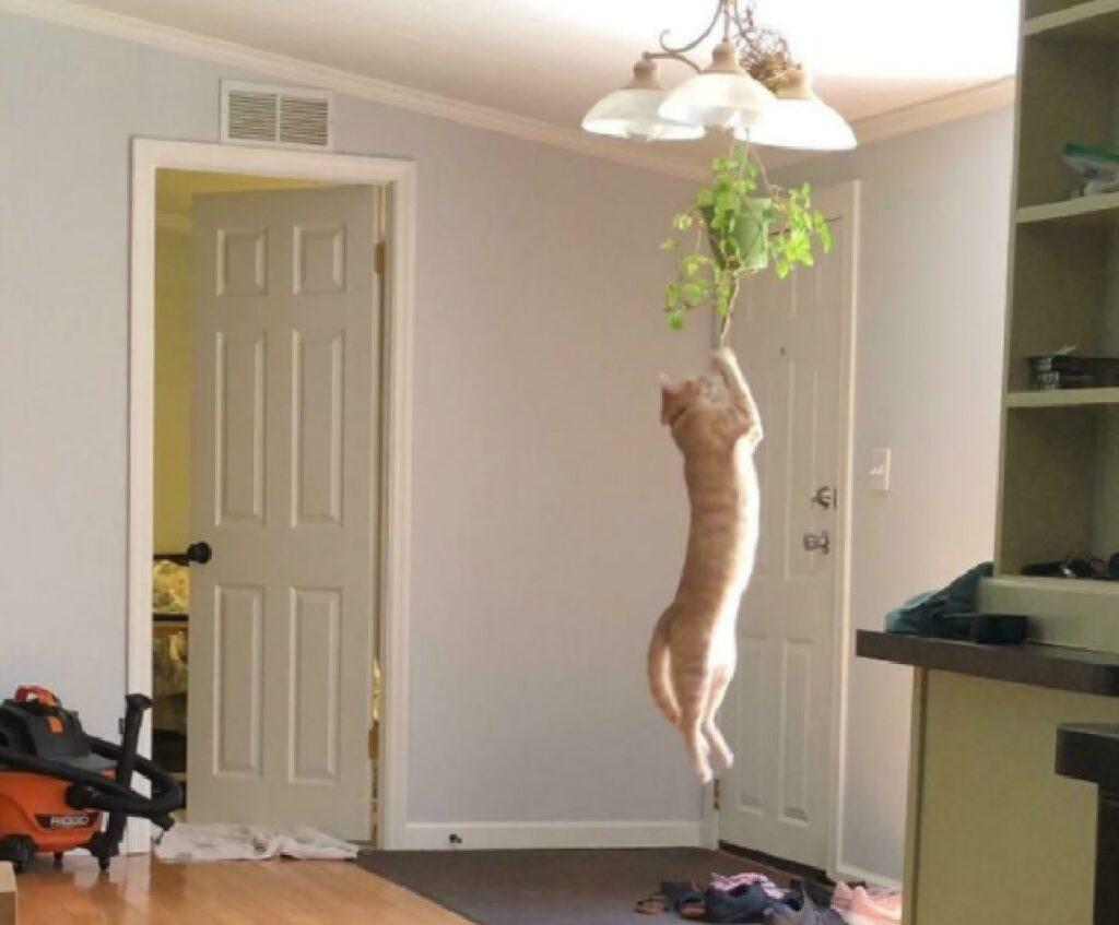 gatto si arrampica lampadario
