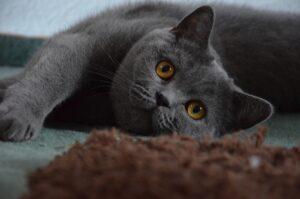 gatto grigio disteso vicino ad una coperta