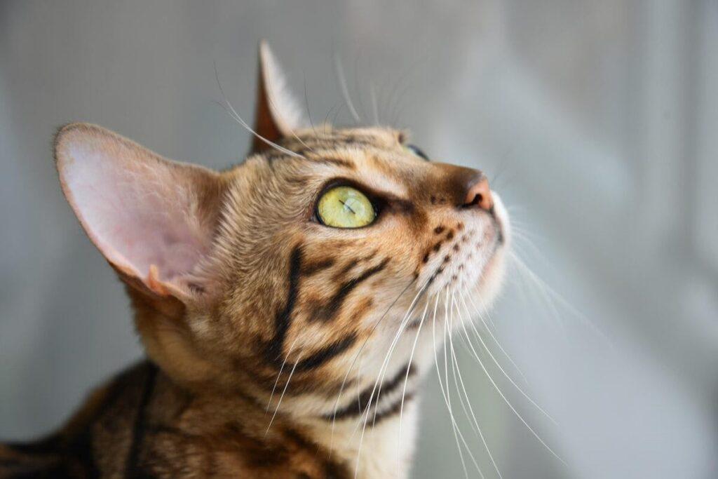 gatto guarda in alto