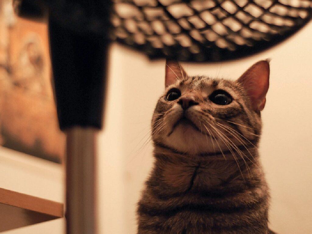 gatto micio tigrato