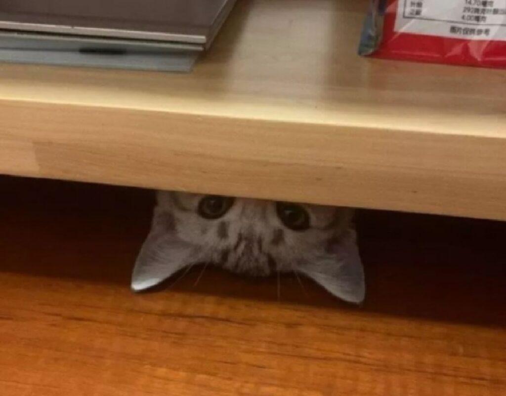 gatto testa in giù sotto scrivania