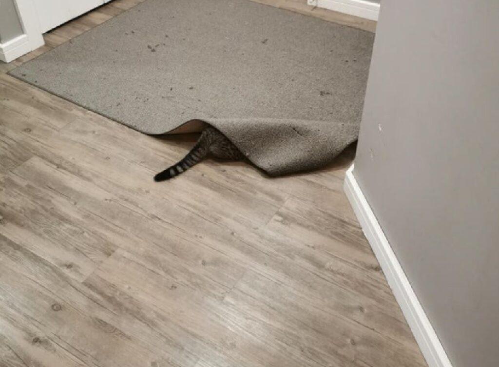 gatto tabby sotto tappeto