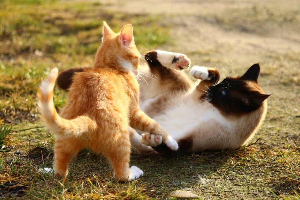 gatti che si azzuffano