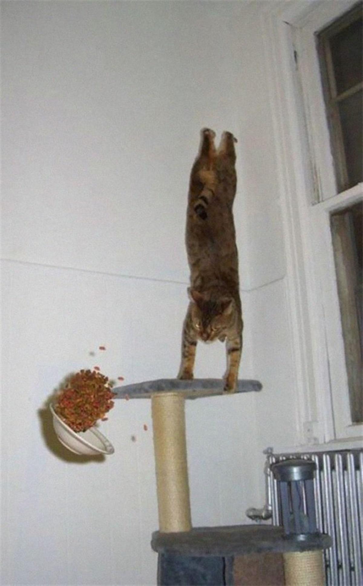 gatto ginnasta