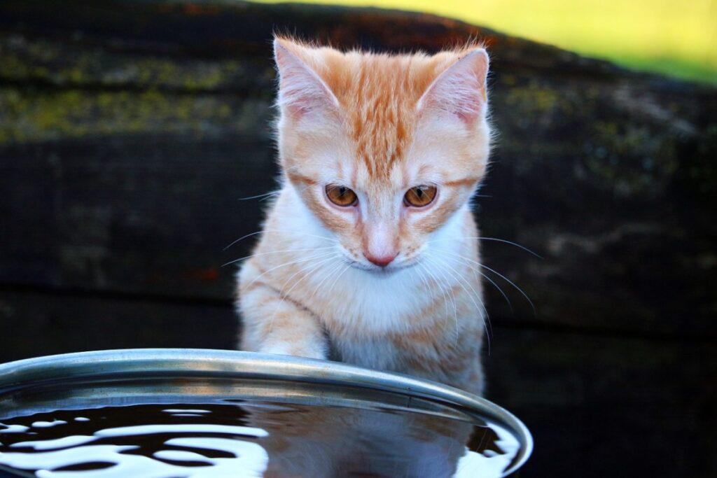 gatto arancione guarda una ciotola di acqua