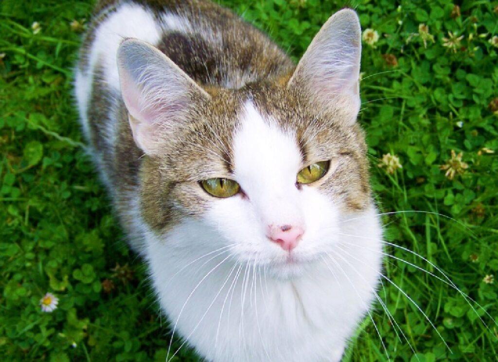 gatto pelo bianco striature grigie