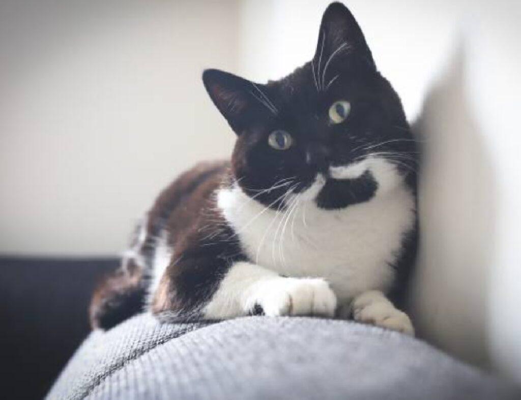 gatto bianco nero sopra divano
