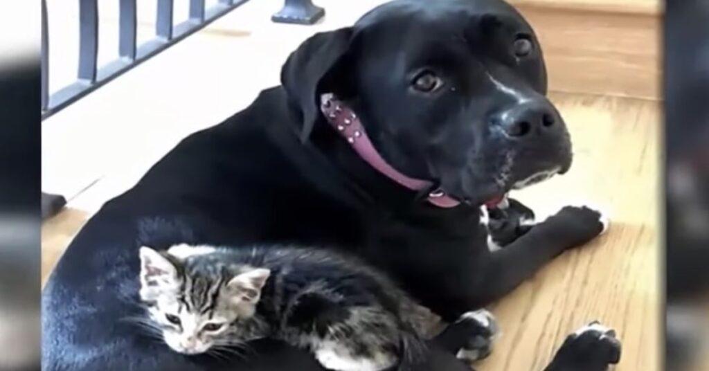 gatta adottata da una cagnolina nera
