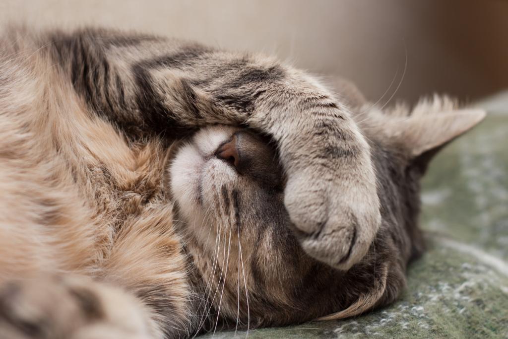 gatto con zampa sulla faccia
