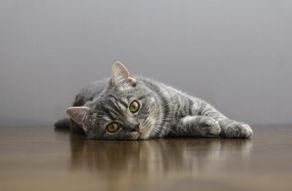 gatta distesa sul pavimento