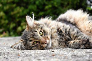 gatto dal folto pelo disteso sul pavimento