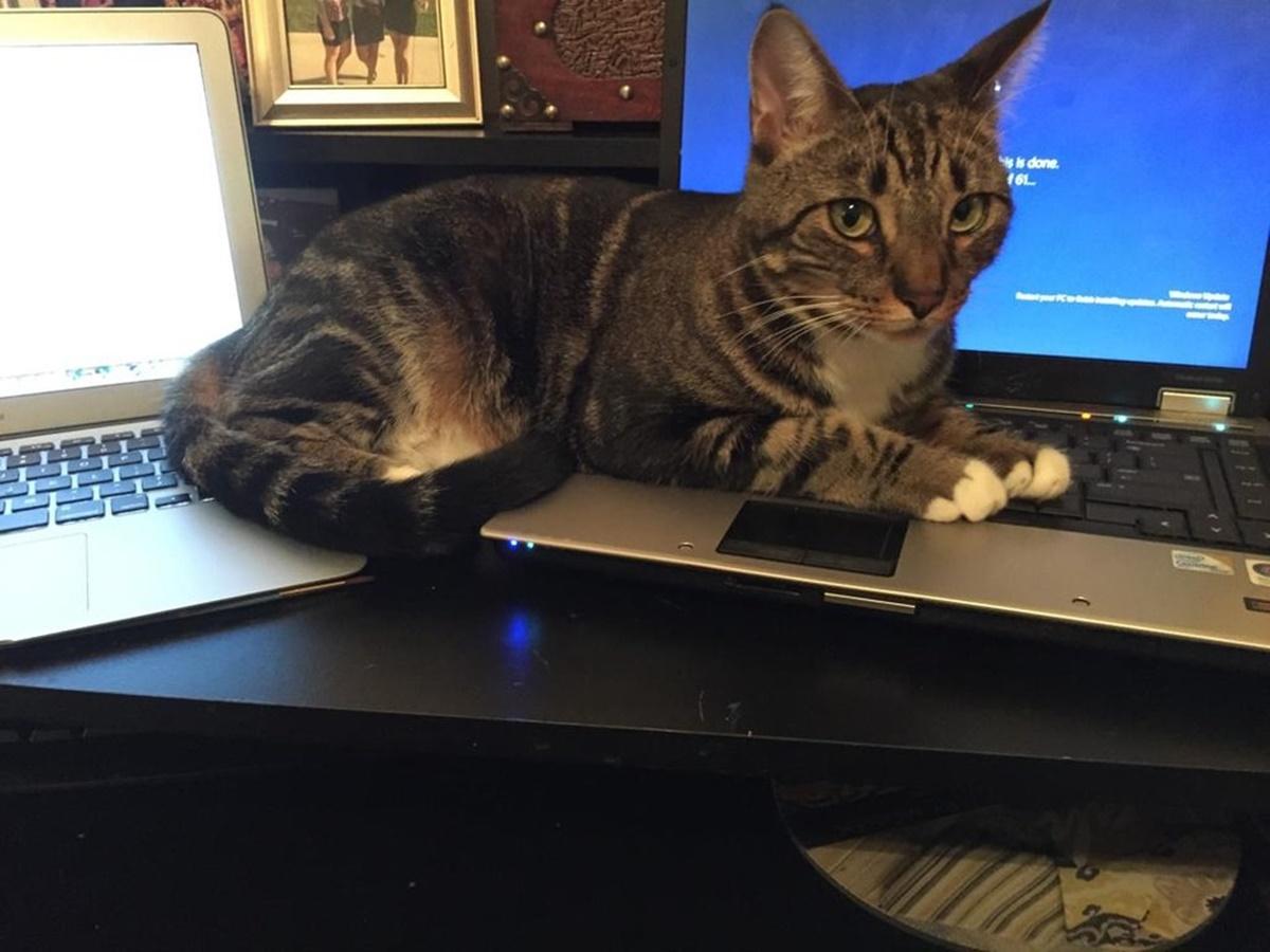 gatto sui computer