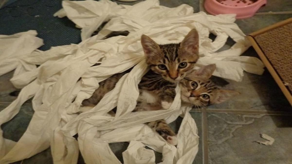 gatti nella carta igienica