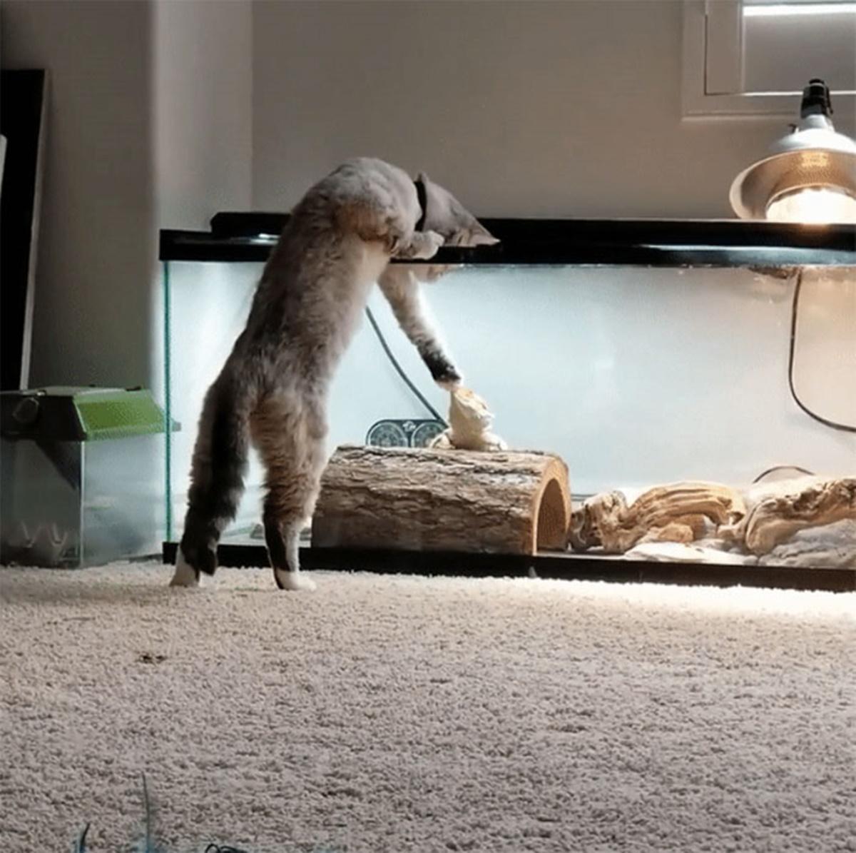 gatto chiama lucertola