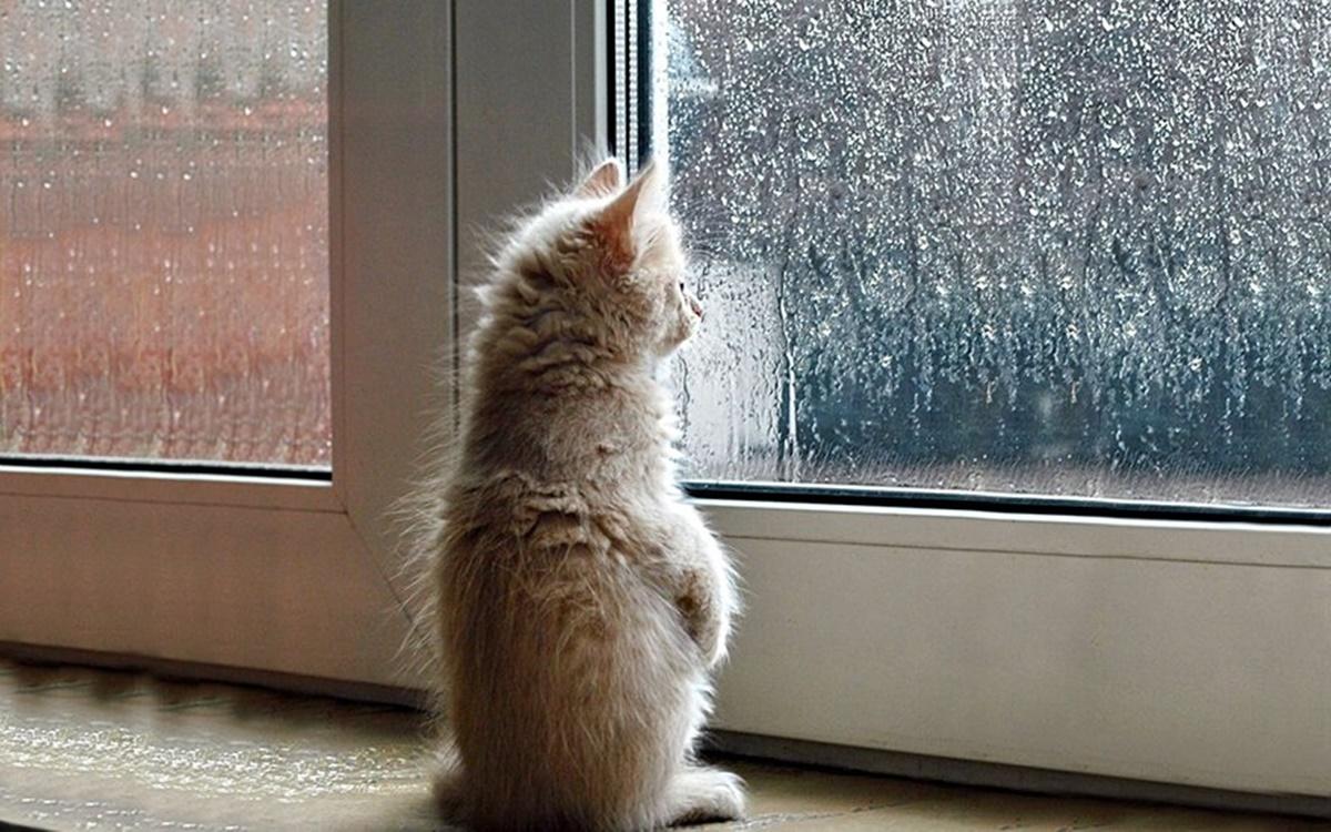 gatto triste guarda la pioggia