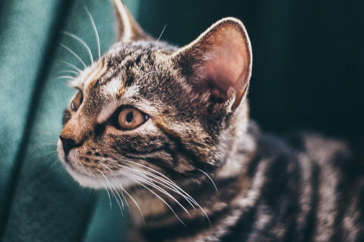 gatto con orecchie grandi