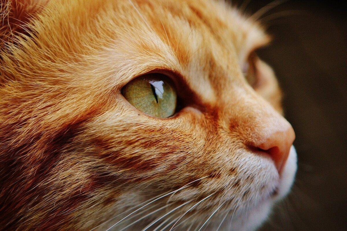 gatto rosso in primo piano