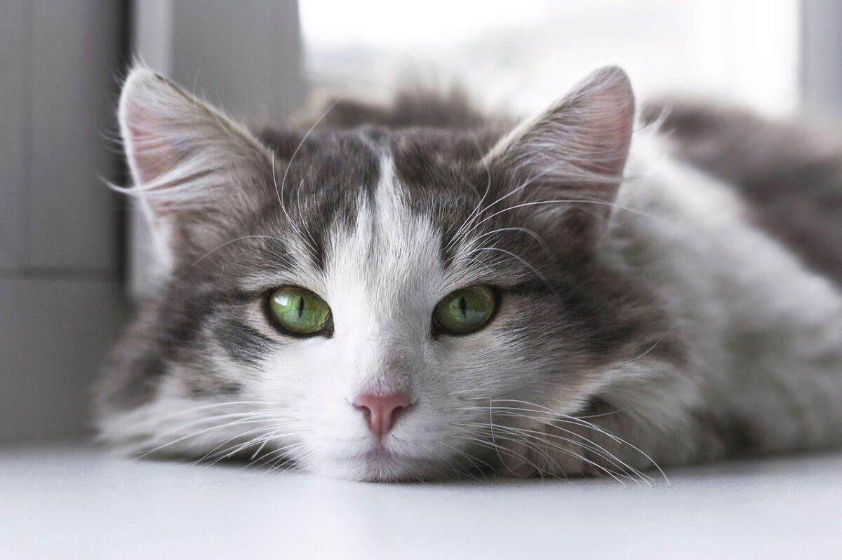 gatto bianco accucciato