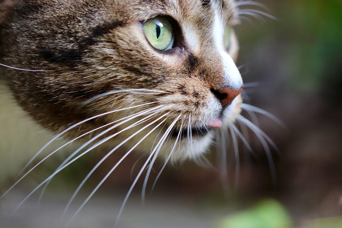 baffi di gatto