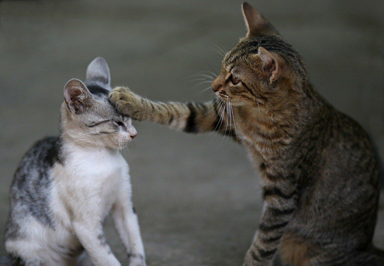 gatto gioca con gatto