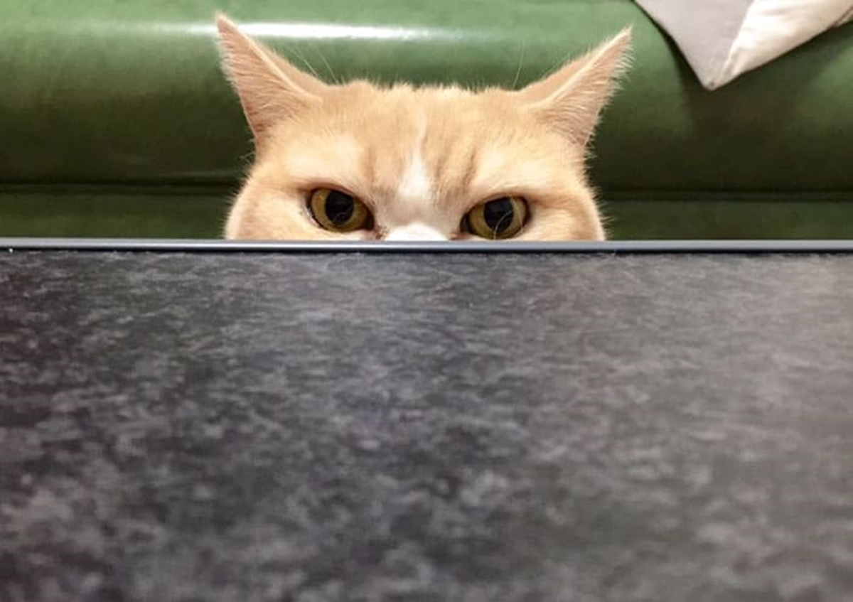 gatto dietro un tavolino