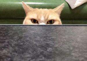 gatto guarda da un tavolo in marmo