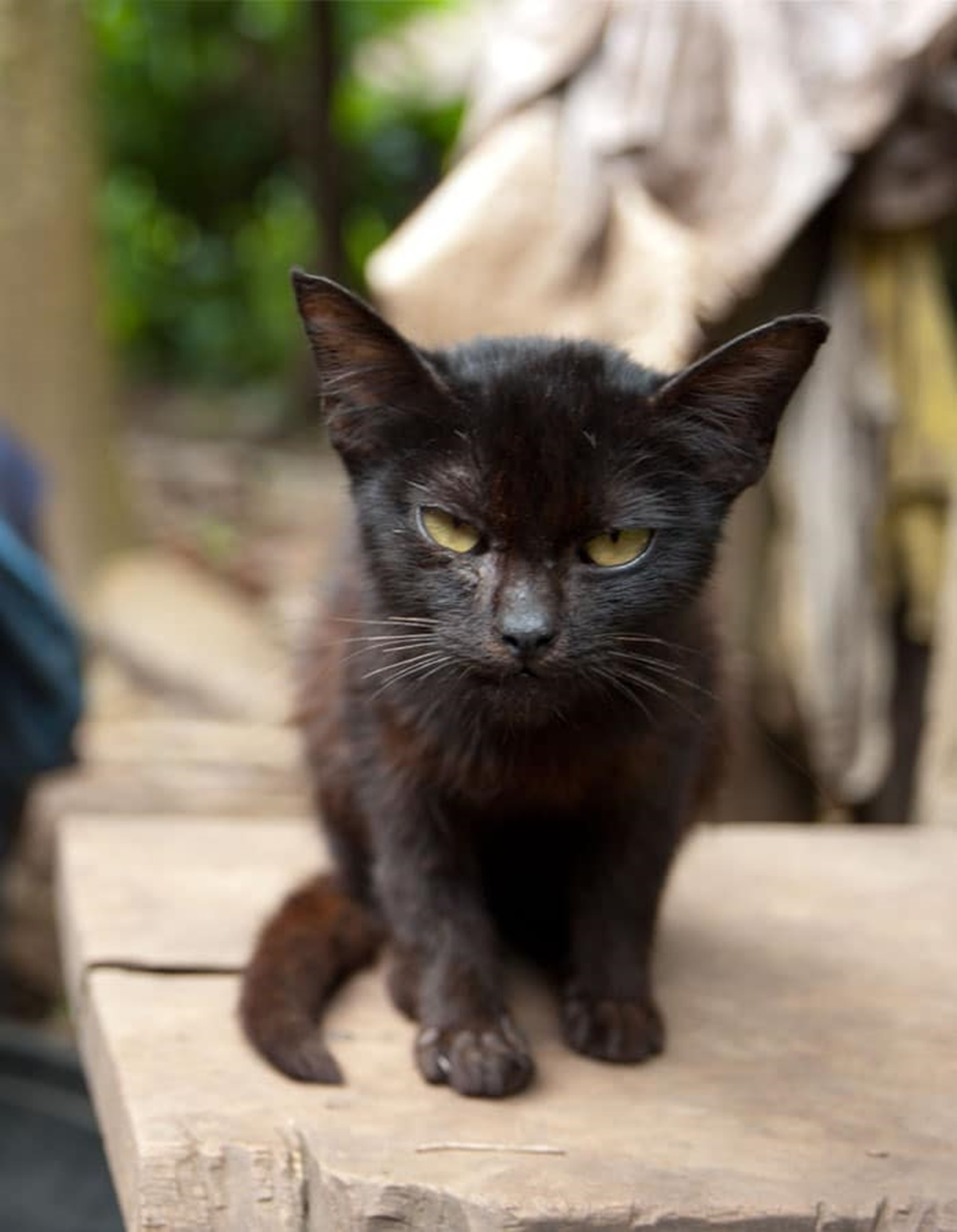 gatto nero porta il muso