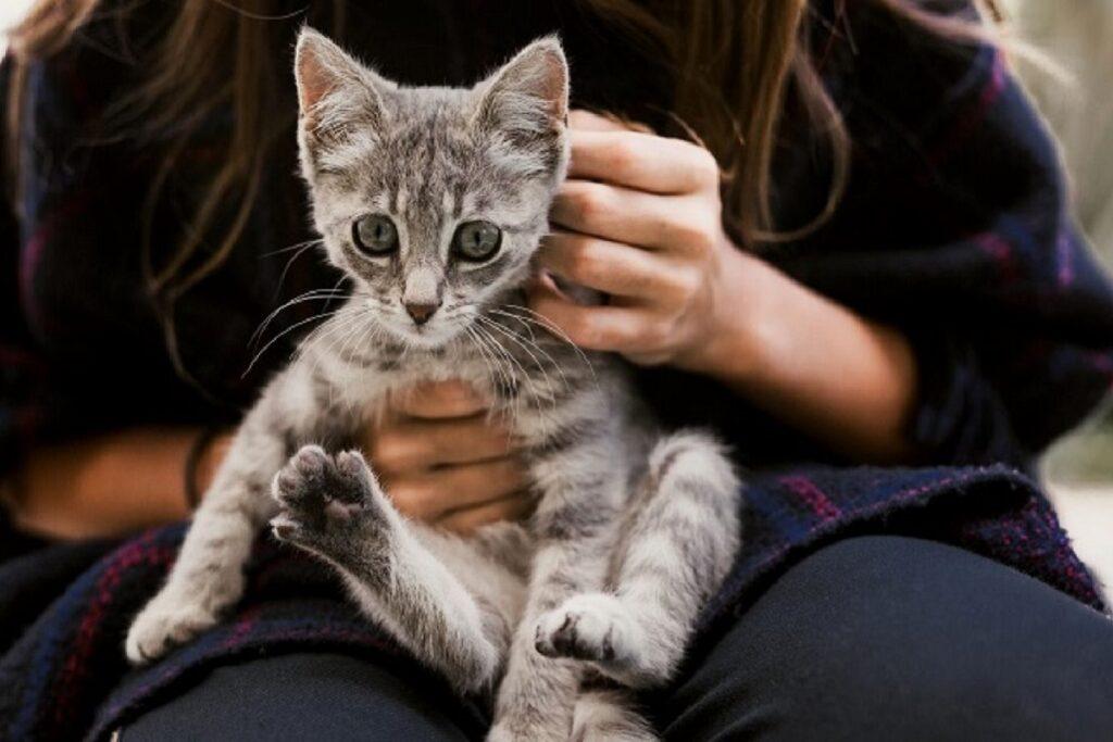 cucciolo di gatto grigio