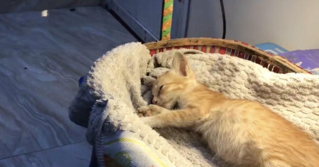 gattino rosso dorme