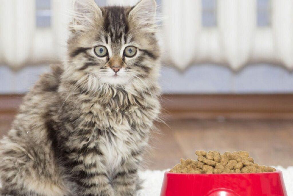 gattino con ciotola rossa