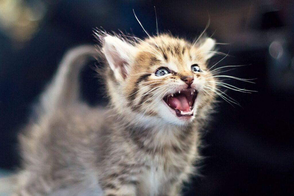 cucciolo di gatto indispettito
