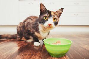 cucciolo di gatto sta per mangiare