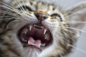 Gattino perde i denti