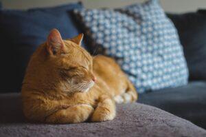 gatto rosso sul divano