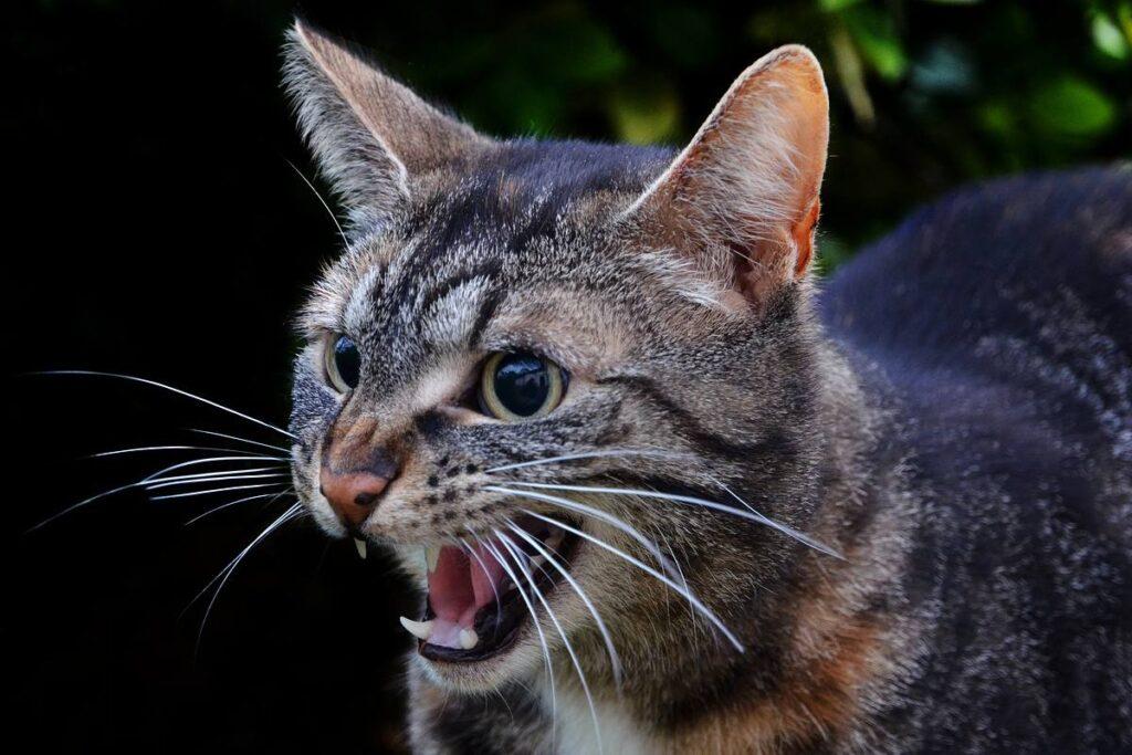 gatto che attacca