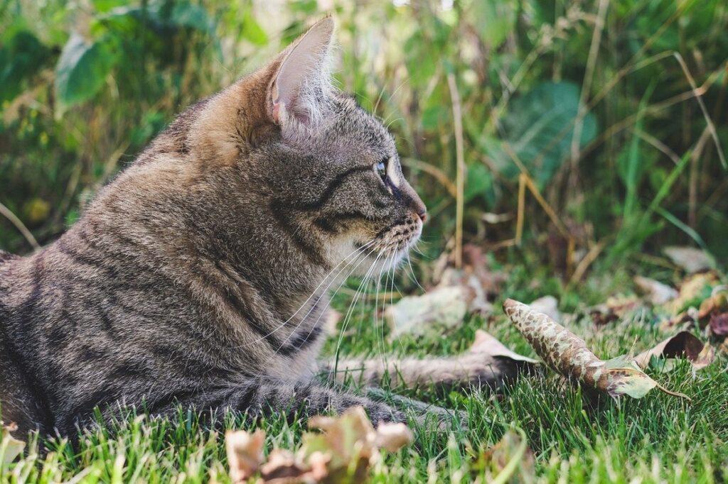 gatto soriano erba