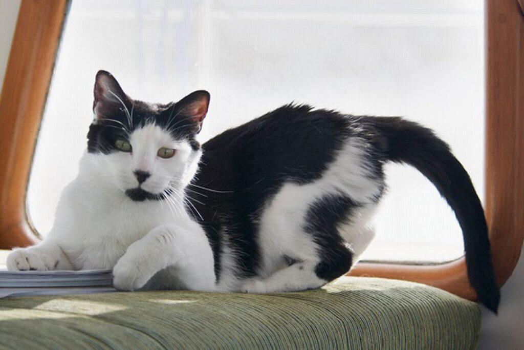 gatto con il didietro sollevato