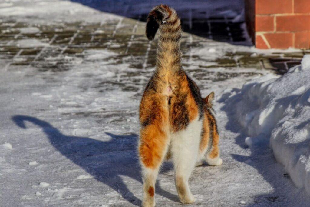 gatto con la coda alzata