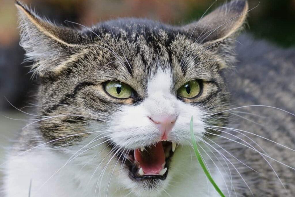 gatto pronto ad attaccare