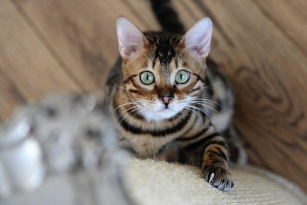 gattino gioca con il tiragraffi