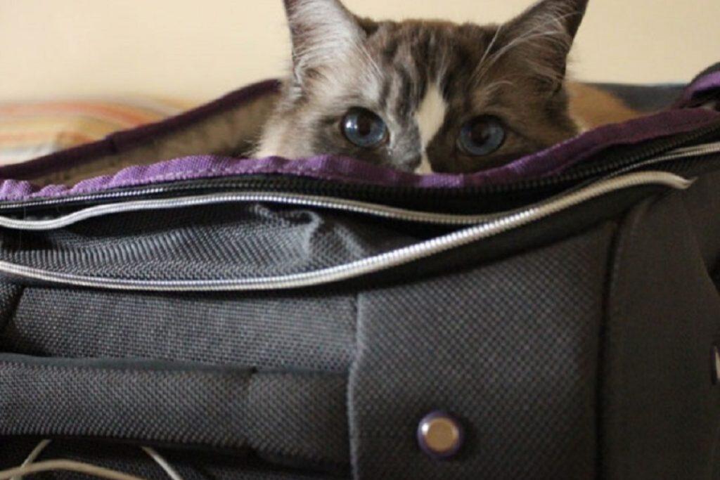 gatto si nasconde in valigia