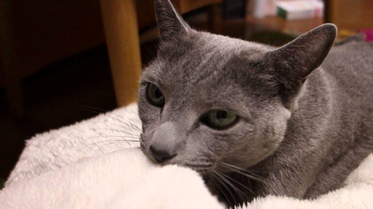 gatto con maglione in bocca