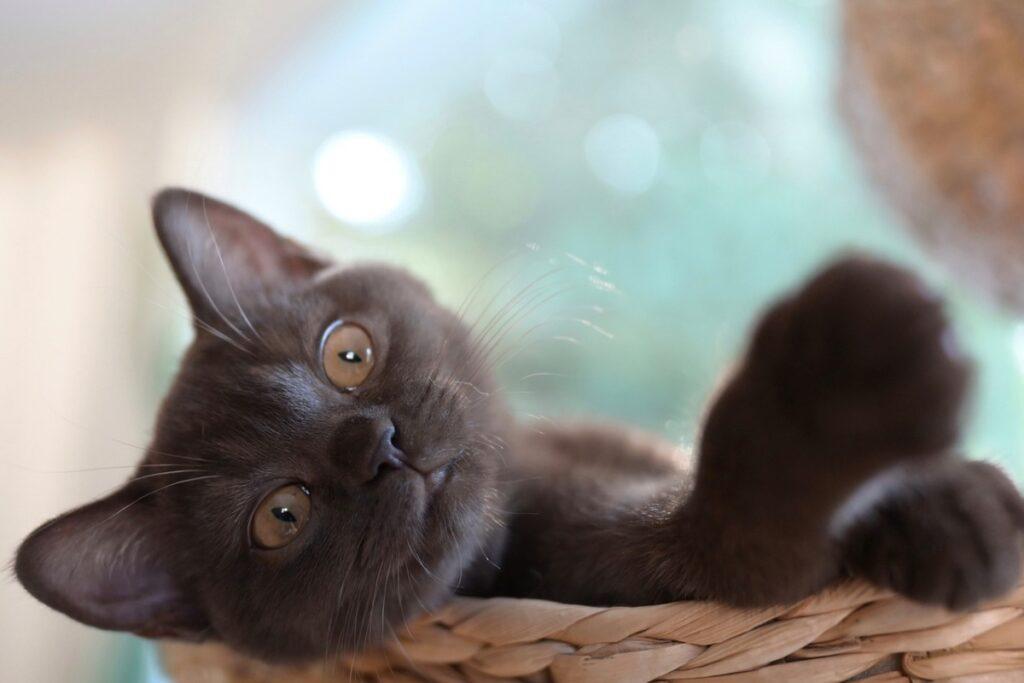 gattino dentro a una cesta
