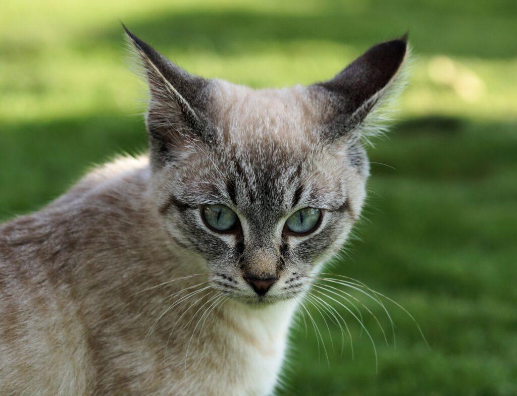 gatto con le orecchie tese