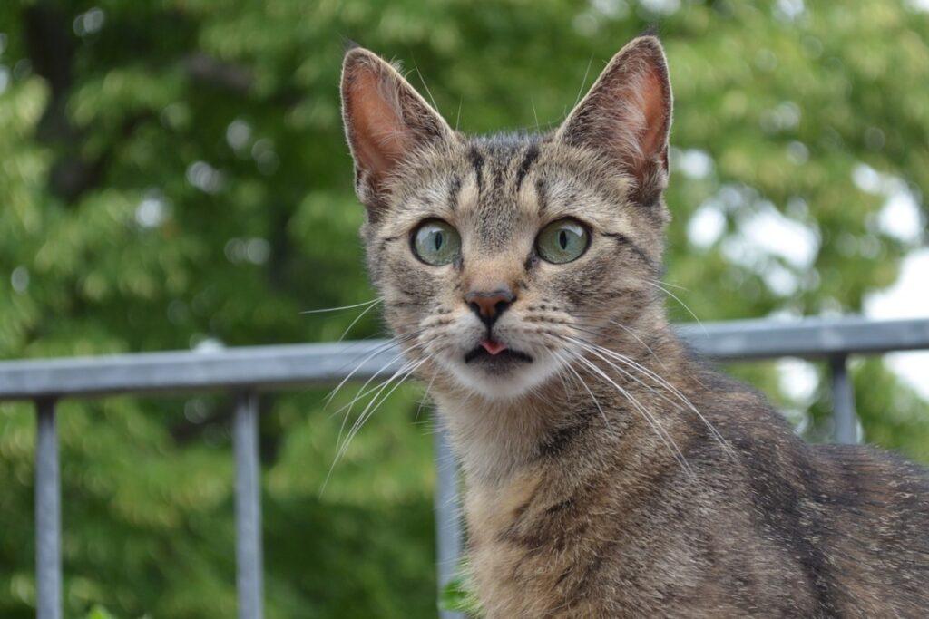 gatto con la lingua di fuori