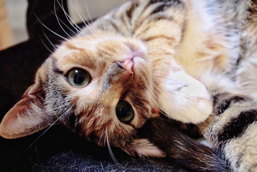 gatto sdraiato sulla schiena